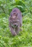Proie de égrappage de Lynx en photographie verticale Photos libres de droits