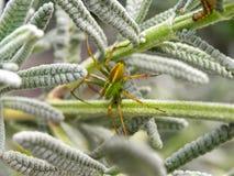 Proie de attente d'araignée de Lynx Photo libre de droits