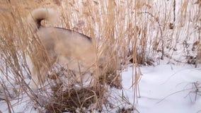 Proie de regard enrouée dans la neige blanche banque de vidéos