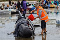 Project Jonah volunteer tending a stranded pilot whale on Farewell Spit, New Zealand. Pouring water over the whale helps stop it from overheating royalty free stock images