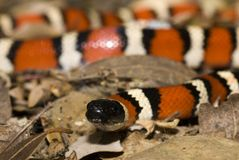 Projectile d'instruction-macro de kingsnake de montagne de la Californie Photographie stock libre de droits