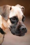 projectile de visage de crabot de Bull-mastiff Photographie stock