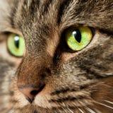 Projectile principal de chat norvégien de forêt image stock