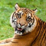 Projectile principal de tigre de grognement Sumatran Photographie stock