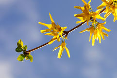 Projectile proche des fleurs jaunes sur une brindille Photographie stock libre de droits