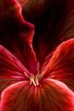 Projectile rouge d'instruction-macro de fleur Photo stock