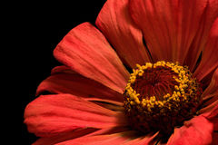 Projecting Confidence. Floral port of an orange zinnia details Royalty Free Stock Image