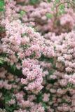 Projeto brilhante fresco do fundo da mola com flores e folhas da flor de cerejeira Fotografia de Stock Royalty Free