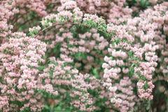 Projeto brilhante fresco do fundo da mola com flores e folhas da flor de cerejeira Fotos de Stock