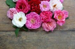 Projeto colorido das rosas no fundo de madeira Fotografia de Stock