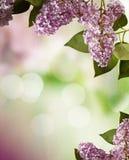 Projeto da beira das flores da mola do Lilac Imagem de Stock