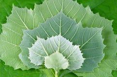Projeto das folhas do Sycamore Imagens de Stock