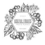 Projeto do vetor da cereja tirada mão Ilustração do estilo do esboço do vintage Alimento orgânico do eco Partes inteiras, cortada ilustração stock