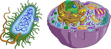 Prokaryote and Eukaryote Cell Royalty Free Stock Image