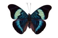 Prola negro y azul de la panacea de la mariposa fotos de archivo libres de regalías