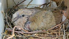 prole da pomba no ninho Fotografia de Stock Royalty Free