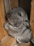 Prole poco animale domestico sveglio divertente della pelliccia fotografie stock