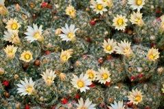 Prolifera del Mammillaria con las flores amarillas fotografía de archivo