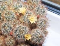 Prolifera floreciente del Mammillaria del cactus Imagenes de archivo