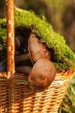 Prolifera rápidamente el boleto en un musgo cubierto cesta Foto de archivo libre de regalías