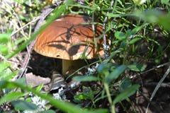 Prolifera rápidamente el vege blanco del bosque del musgo de la seta de la seta Foto de archivo