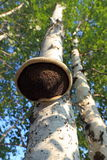Prolifera rápidamente un parásito en un árbol viejo Imagen de archivo