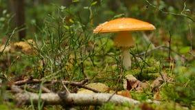 Prolifere rápidamente en bosque del otoño entre el musgo y los árboles, cierre para arriba almacen de metraje de vídeo