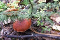 Prolifere rápidamente en el bosque en el follaje del otoño Imagen de archivo libre de regalías