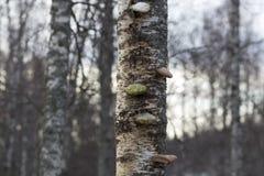 Prolifere rápidamente en un abedul en el bosque de la caída Fotografía de archivo libre de regalías