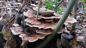 Prolifere rápidamente que crece en el género muerto de Trametes de los restos del árbol Fotos de archivo libres de regalías