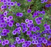 Prolific Purple Phlox flowers are abundant in the Spring. Mounding purple Phlox flowers make the flower bed look amazing royalty free stock images