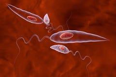 Promastigotes of Leishmania parasite Royalty Free Stock Images