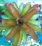 Promeliad tree. Promeliad is plant of leaf beautiful royalty free stock photography