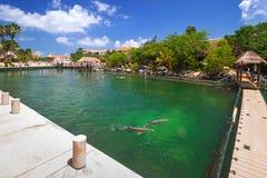 Promenade à la mer des Caraïbes avec des dauphins de natation Image stock