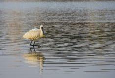 promenade au visage noir de spatule dans l'eau calme de l'étang photo stock