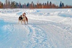 Promenade avec les animaux familiers fous Chien de traîneau sibérien jouant sur la promenade d'hiver Morsure et enfoncer de chien Image libre de droits