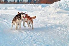 Promenade avec les animaux familiers fous Chien de traîneau sibérien jouant sur la promenade d'hiver Morsure et enfoncer de chien Photos libres de droits