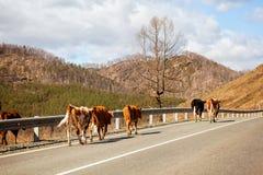 promenade brune de vaches photographie stock libre de droits