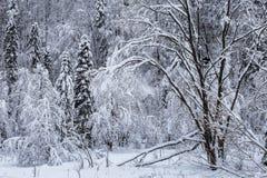Promenade couverte de neige inhabitée de la forêt A d'hiver dans la région de Kyiv de réservation, Ukraine Photographie stock