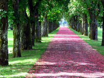 Promenade covered with pink flower petals Royalty Free Stock Photo