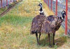 Promenade d'émeu de deux oiseaux dans la clôture dans extérieur Image stock