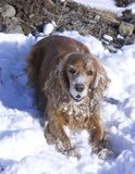 Promenade d'hiver avec Cocker Spaniel photos libres de droits