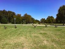 promenade d'oies sur l'herbe dans une rangée Photos libres de droits