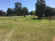 promenade d'oies sur l'herbe dans une rangée Image libre de droits