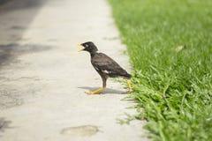 Promenade d'oiseau de Myna Images libres de droits