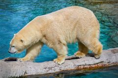 Promenade d'ours blanc image stock