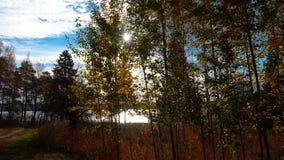 Promenade dans la forêt de pin d'automne sur les banques de la rivière, paysage d'automne banque de vidéos