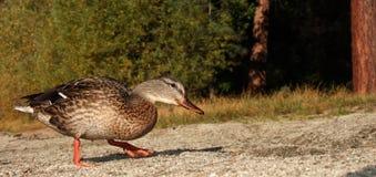 Promenade de canard Images libres de droits