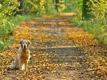 promenade de chien d'arrêt de stationnement d'or de crabot Photo libre de droits