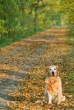 promenade de chien d'arrêt de stationnement d'or de crabot Photographie stock libre de droits